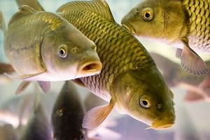 Какая память у рыб?