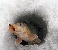 Клюет ли карп из-подо льда